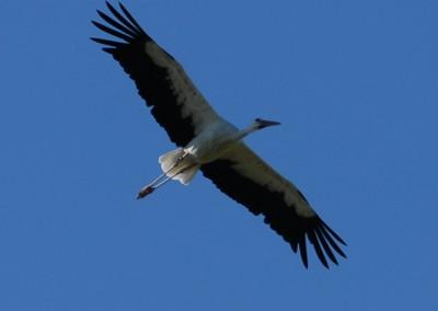 Unter weiteren Vogelarten zählen Störche zu den Dauergästen am Flugplatz
